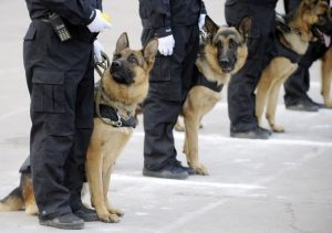 A police dog (L) looks up to his handler during an anti-riot drill at a police dog training base in Taiyuan, Shanxi province November 1, 2010. A total of 80 police dogs from this base will go to Guangzhou to reinforce the security of the upcoming 16th Asian Games which will be held between November 12 - 27, local media reported. REUTERS/Stringer (CHINA - Tags: ANIMALS MILITARY SPORT) CHINA OUT. NO COMMERCIAL OR EDITORIAL SALES IN CHINA